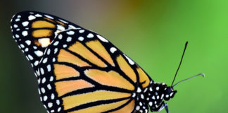 farfalla monarca