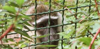 animali diritti scimmia