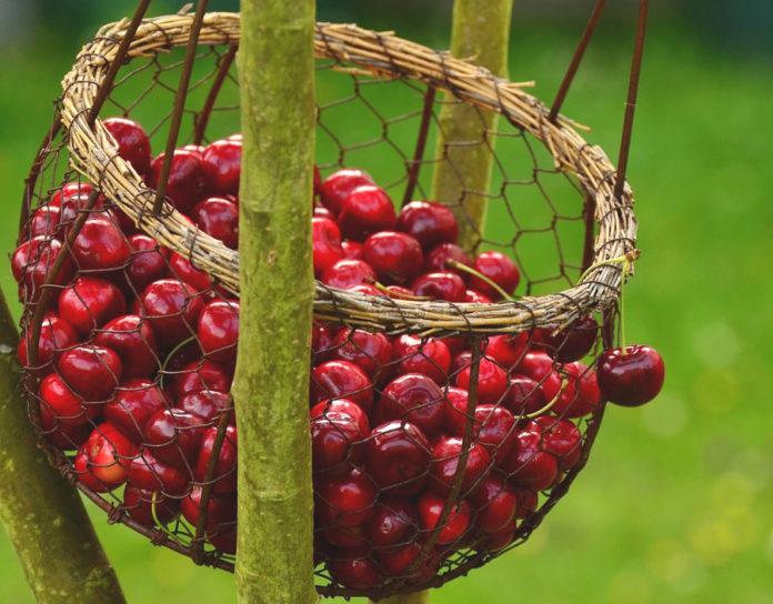 ciliege campagna agricoltura