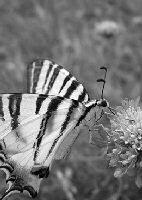 Farfalla 35 Enrico Altini