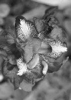 Fiore bruco 35 APerrini