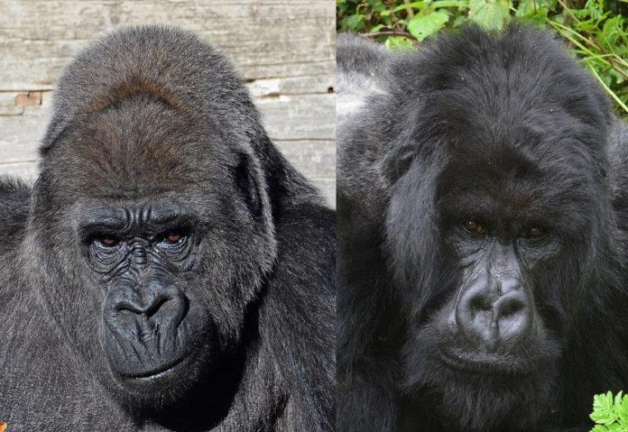 Gorilla gorilla Gorilla beringei