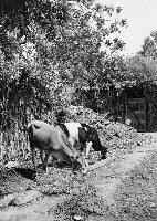 Mucche 38 PCatino