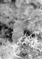 farfalla 7 PCatino