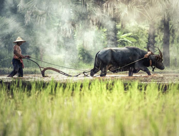 Birmania riso