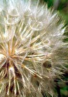 fiore 59 PCatino