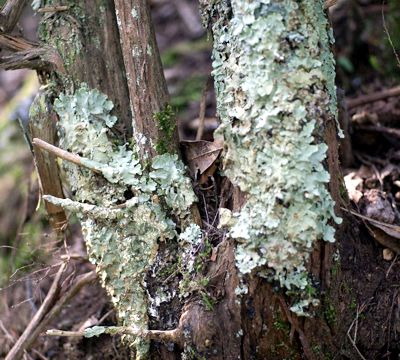 Flavoparmelia caperata L.(Hale). Lichene epifita. Toscana 2012. Foto Paolo Pasquinelli ©
