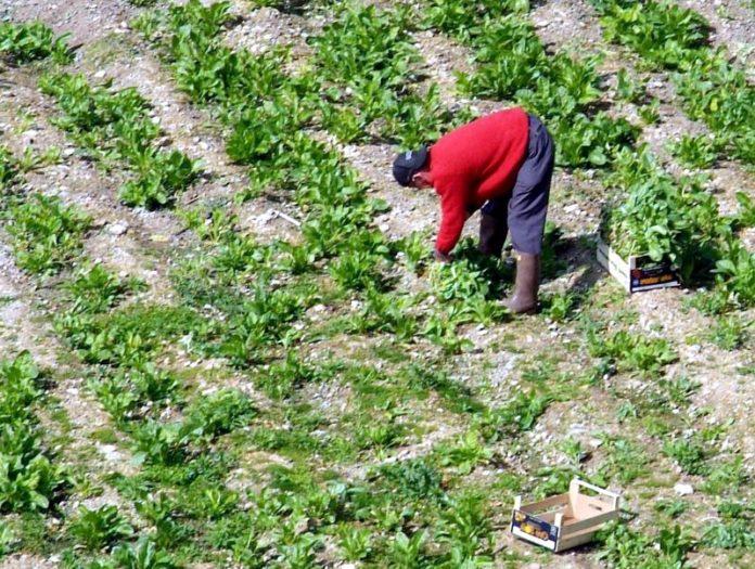 contadino catino