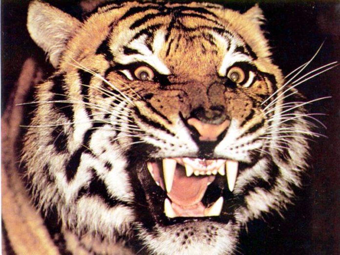 tigre animali