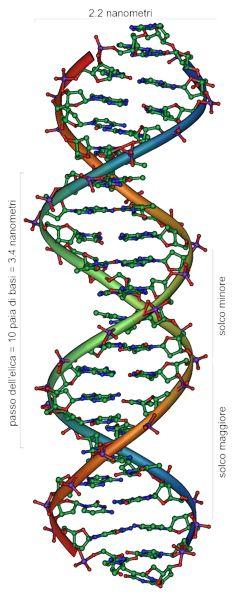Rappresentazione della molecola del DNA