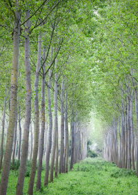 Poplar fustigate trees growing in rows, summer season. North Italy, Europe.