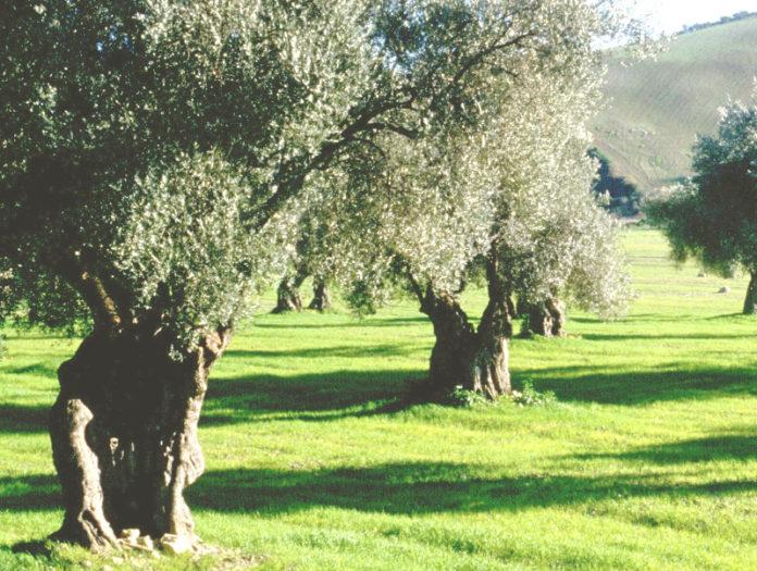 alberi ulivo campagna agricoltura