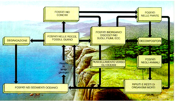 ciclo fosforo