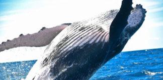 balena cetacei mare 82