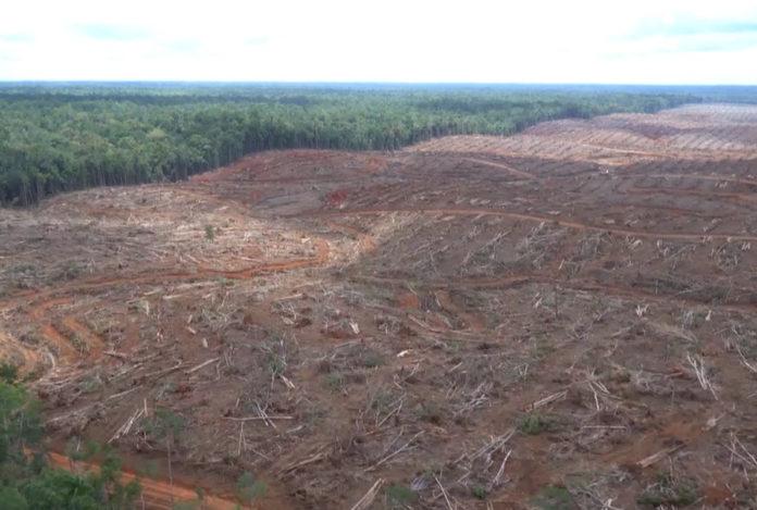 deforestazione indonesia olio di palma
