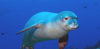 foca monaca mare