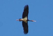 migrazioni cicogna nera gargano