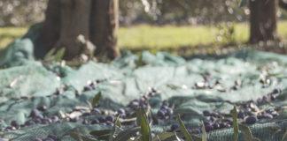 olive ulivi xylella