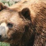 orso animali