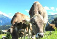 vacche buoi pascolo