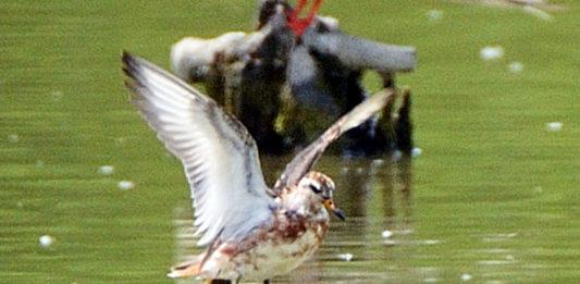 Un esemplare di falaropo beccolargo, foto di Guido Perdisa