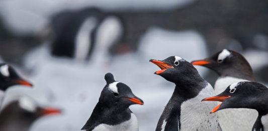 Gentoo Penguins in the Antarctic