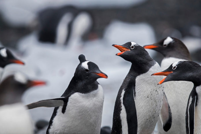 Gentoo Penguins in the Antarctic