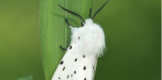 falena Spilosoma lubricipeda