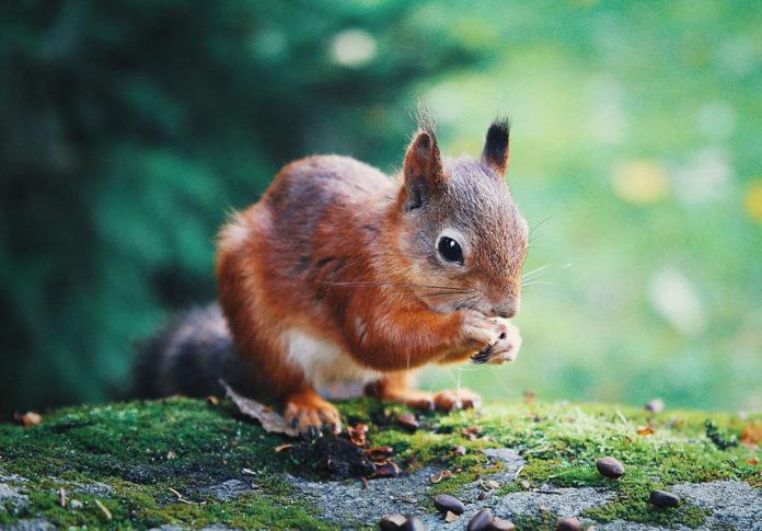 scoiattolo rosso animali