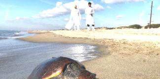 tartaruga marina caretta