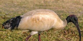 Ibis sacro specie aliene