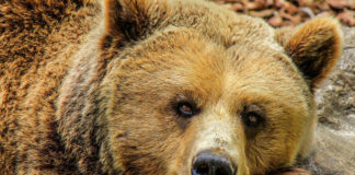 orso caccia parchi
