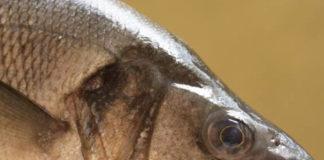 spigola dicentrarchus labrax mare