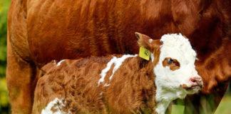 allevamento vitello 83