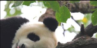 cazzolla cina panda