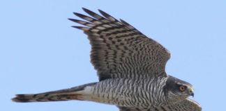 gheppio rapaci uccelli