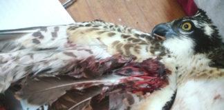 raro falco pescatore ferito in Sicilia