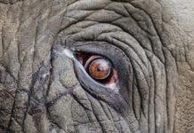 elefante animali estinzione