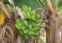 honduras banane agricoltua