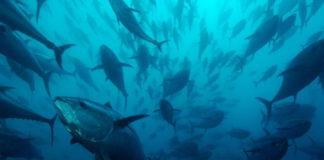 tonno rosso © Brian J Skerry