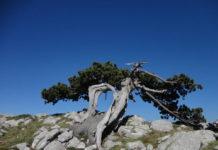 Pinus heldreichii subsp. leucodermis Basilicata