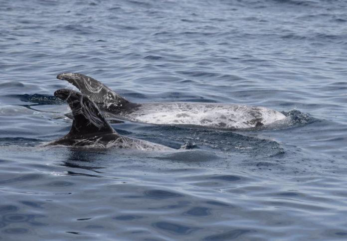 grampo delfino mare taranto cnr