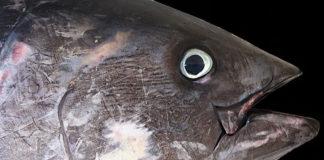 tonno pesca iccat