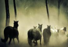 cavalli australia