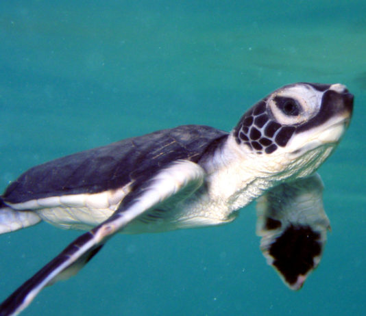 green-sea-turtle-msullivan-NOAA_permit1013707-FPWC