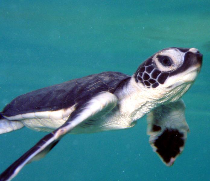 green-sea-turtle-msullivan-NOAA_permit1013707-FPWC