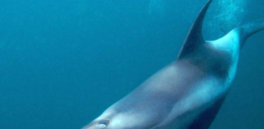 Delfino © Rudolf Svenson WWF