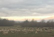 Tonin foto pecore 85