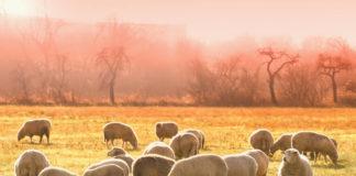 pecore gregge pascolo prato
