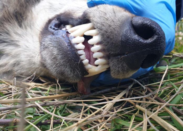 lupo dentatura
